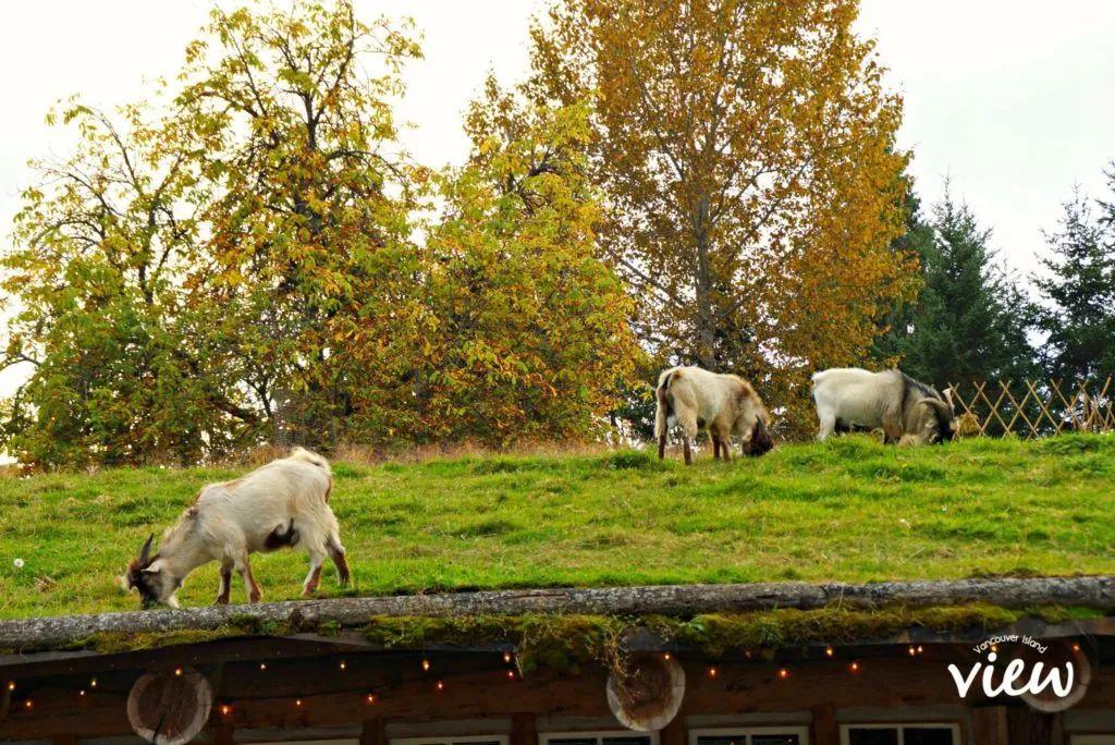 屋顶上的山羊 - Coombs,不仅仅只有屋顶上的山羊